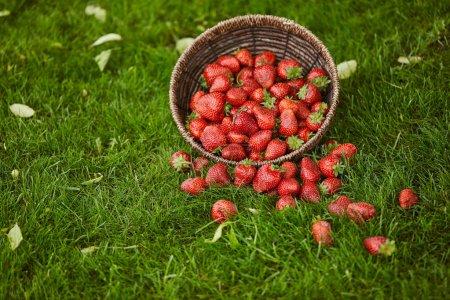 Photo pour Délicieuses fraises sucrées dans un panier en osier sur herbe verte - image libre de droit