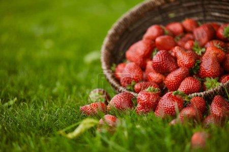 Photo pour Foyer sélectif des fraises dans le panier en osier sur l'herbe verte - image libre de droit