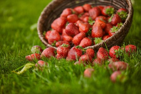 Photo for Selective focus of sweet fresh strawberries in wicker basket on green grass - Royalty Free Image
