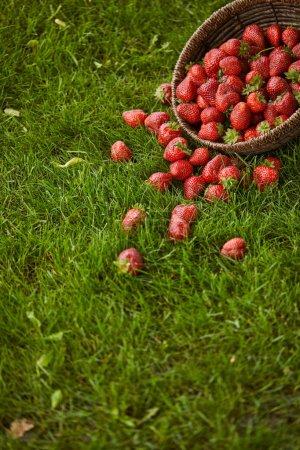 Foto de Fresas rojas frescas en cesta de mimbre sobre hierba verde - Imagen libre de derechos