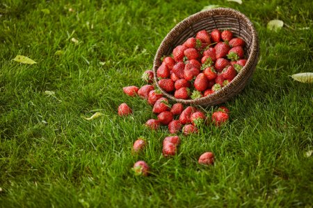 Photo pour Fraises fraîches sucrées dans un panier en osier sur herbe verte - image libre de droit