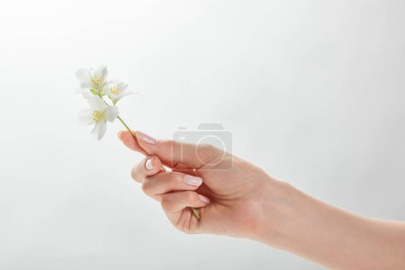 Photo for Cropped view of woman holding jasmine in hand - Royalty Free Image