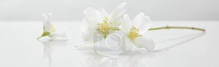 Foto de Panoramic shot of jasmine flowers on white surface - Imagen libre de derechos