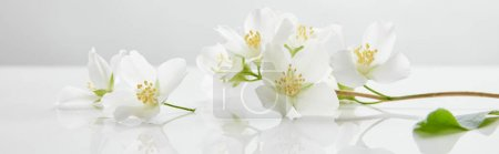 Photo for Panoramic shot of jasmine flowers on white surface - Royalty Free Image