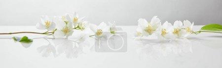Photo pour Plan panoramique de fleurs de jasmin sur surface blanche - image libre de droit