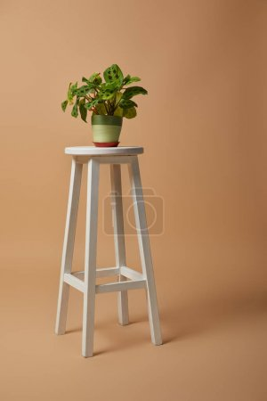 Photo for Green plant in flowerpot  on bar stool on beige background - Royalty Free Image