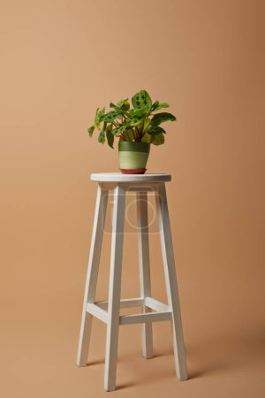 Photo for Plant with green leaves in pot on white bar stool on beige background - Royalty Free Image