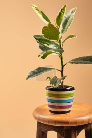 plant with light green leaves in colorful flowerpot on wooden bar stool isolated on beige