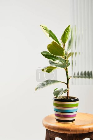 plant with light green leaves in colorful flowerpot on wooden bar stool on white background behind reed glass