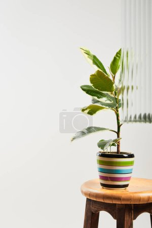 plant with faded leaves in colorful flowerpot on wooden bar stool on white background behind reed glass