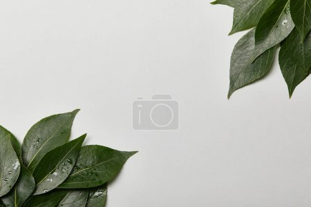 Photo for Green wet foliage with copy space isolated on white - Royalty Free Image