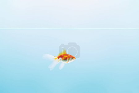 Photo for Transparent pure calm water with goldfish on blue background - Royalty Free Image