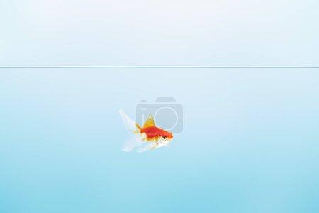 Photo pour L'eau calme pure transparente avec le poisson rouge mignon sur le fond bleu - image libre de droit