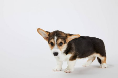 cute welsh corgi puppy looking at camera on white background