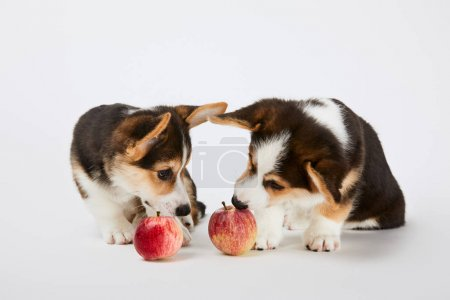 cute welsh corgi puppies with ripe apples on white background