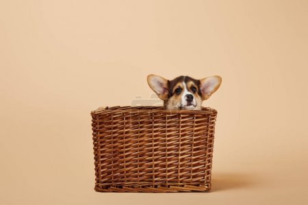 Photo for Adorable welsh corgi puppy in wicker basket on beige background - Royalty Free Image