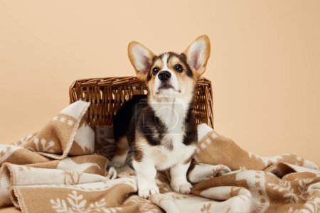 fluffy welsh corgi puppy on blanket near wicker basket isolated on beige