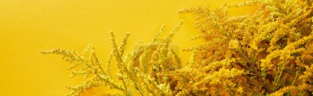 Photo for Panoramic shot of goldenrod bunch isolated on yellow - Royalty Free Image