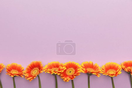 top view of orange gerbera flowers on violet background with copy space