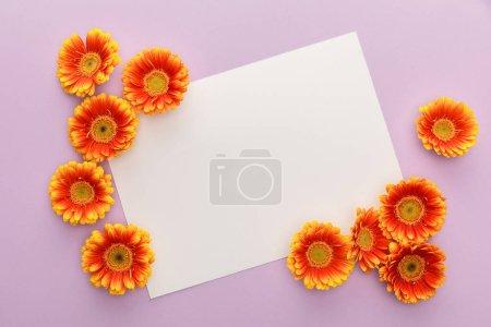 Foto de Vista superior de las flores de gerbera naranja y papel blanco en blanco sobre fondo violeta. - Imagen libre de derechos