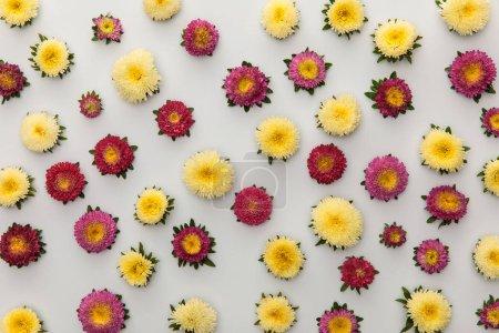Photo pour Vue du haut des asters jaunes et violets sur fond blanc - image libre de droit