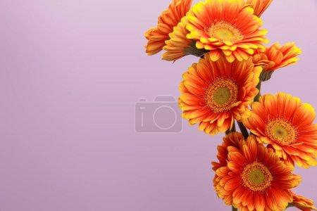 Photo pour Fleurs de gerbera orange sur fond violet avec espace de copie - image libre de droit