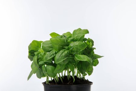 Photo for Fresh green basil growing in flowerpot isolated on white - Royalty Free Image