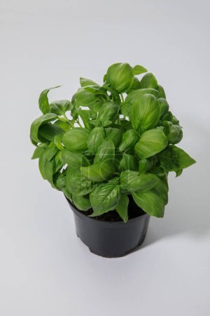 Photo for Fresh green basil growing in flowerpot on white background - Royalty Free Image