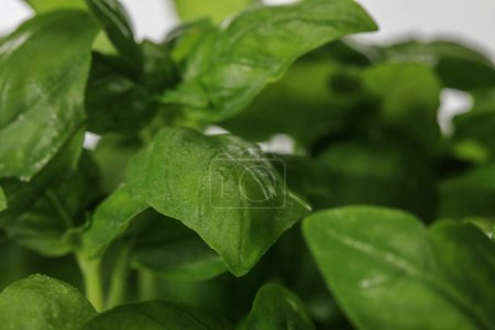 Photo for Close up view of green fresh basil leaves - Royalty Free Image
