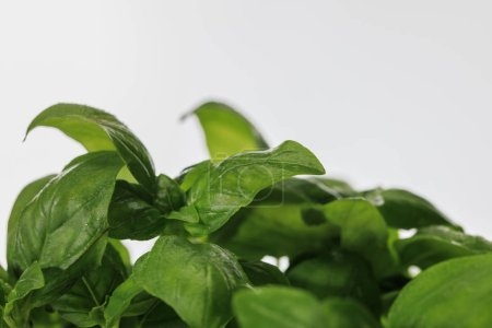 Photo pour Close up view of green fresh basil leaves isolated on white - image libre de droit