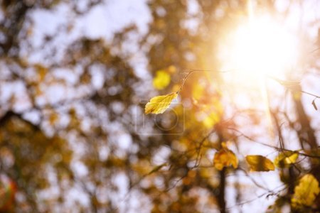 Photo for Selective focus of trees with yellow leaves and sun in autumnal park at day - Royalty Free Image