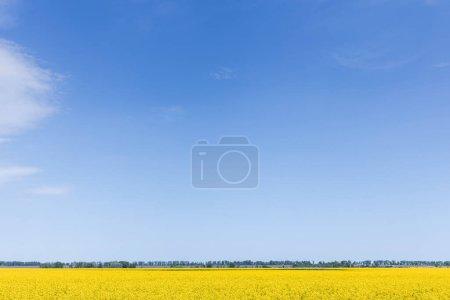 Photo pour Fleurs à fleurs jaunes sur le champ contre le ciel bleu - image libre de droit