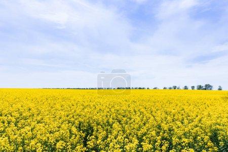 Photo pour Fleurs jaunes sur le champ contre ciel bleu avec des nuages - image libre de droit
