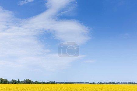 Photo pour Fleurs sauvages en fleurs jaunes sur le champ contre le ciel bleu - image libre de droit