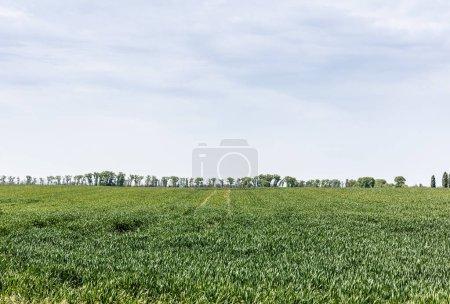 Photo pour Herbe verte et fraîche contre ciel nuageux - image libre de droit