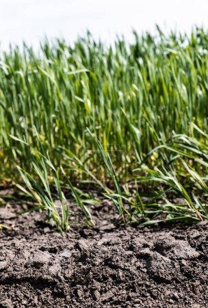 Foto de Enfoque selectivo de hierba fresca cerca del suelo - Imagen libre de derechos