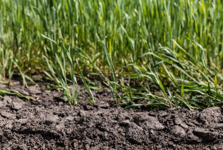Photo pour Foyer sélectif d'herbe fraîche et verte près du sol - image libre de droit