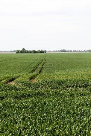 Photo pour Lumière du soleil sur l'herbe fraîche près du chemin sur le champ vert - image libre de droit