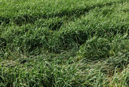 Photo for Green fresh grass in field in summertime - Royalty Free Image
