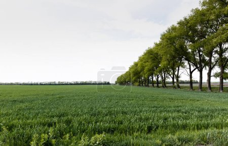Photo for Green trees near field with fresh grass in summertime - Royalty Free Image