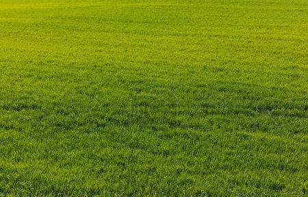 fresh and green lawn with grass in summer