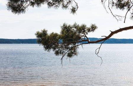 Photo pour Pin vert près de la mer tranquille en été - image libre de droit