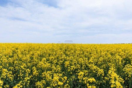 Foto de Flores silvestres amarillas y florecientes contra el cielo azul con nubes en verano. - Imagen libre de derechos