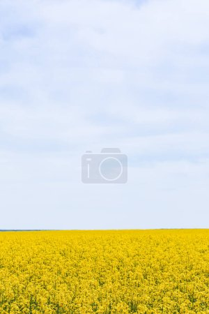 Photo for Yellow and blooming wildflowers against sky with clouds in summer - Royalty Free Image