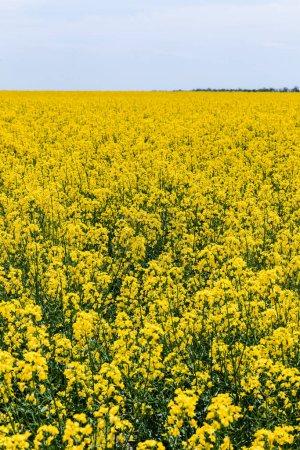 Photo pour Foyer sélectif de fleurs sauvages jaunes et florissantes contre le ciel avec des nuages en été - image libre de droit