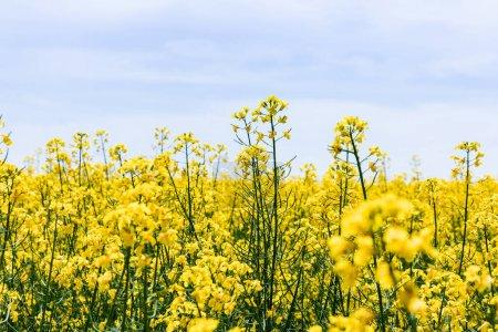 Foto de Enfoque selectivo de flores silvestres amarillas y florecientes contra el cielo con nubes en verano. - Imagen libre de derechos