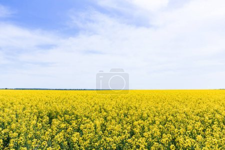 Photo for Yellow and blooming wildflowers against sky with clouds in summertime - Royalty Free Image