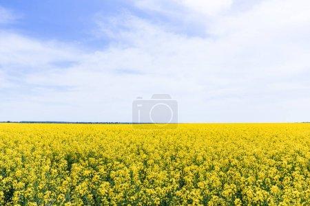 Photo pour Fleurs sauvages jaunes et florissantes contre le ciel avec des nuages en été - image libre de droit