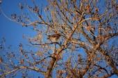 """Постер, картина, фотообои """"Взрослый Свенсон, Уильям в Хок (Настоящие канюки swainsoni) большие Настоящие канюки ястреб по орнитологии. Разговорноо-народн известен как кузнечик ястреб или Хок саранчи. Вид рейса и усаживаться в дереве вокруг сумерках и закат в Колорадо в Денвере Broomfield. США"""""""