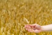 """Постер, картина, фотообои """"рука человека держит стебель пшеницы на фоне поля в летнее время. Крупным планом"""""""